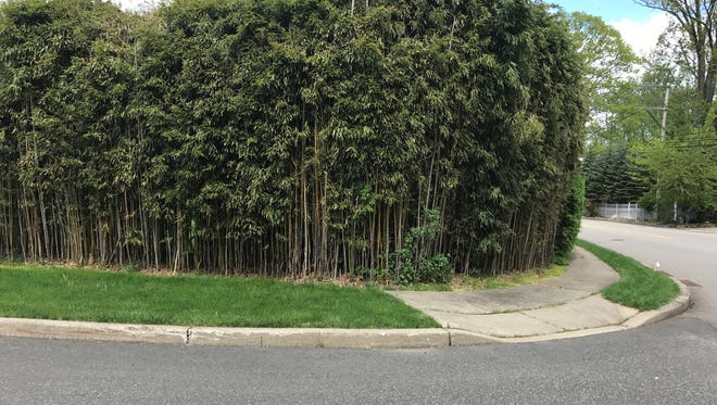 A stand of bamboo on Orangeburgh Road in Old Tappan. The Borough Council adopted a bamboo ordinance at its May 15 meeting.