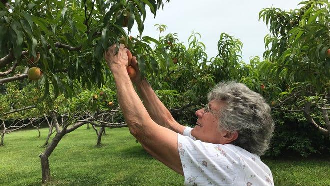 Joyce Foster picks the first peaches of the season at her Mason Beach Fruit Farm in Hacksneck