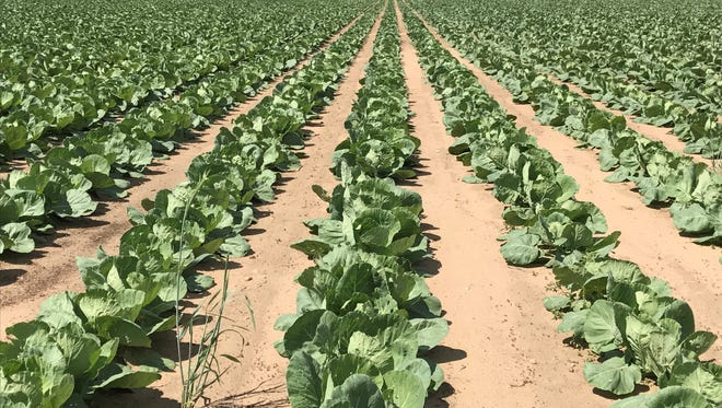 Rows of cabbage plants stretch out in the sandy soils in this Portage County farm field along Highway 22.