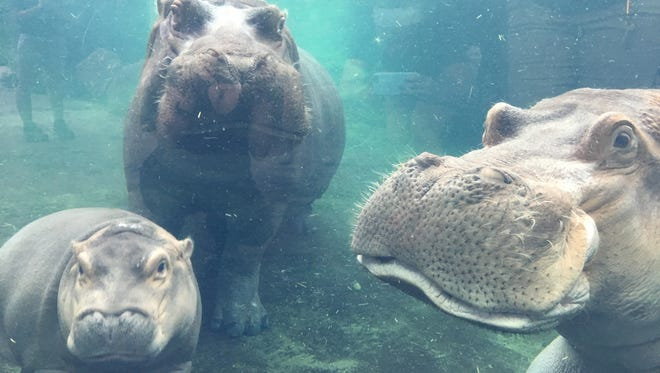 Fiona the hippo with her parents, Henry and Bibi.