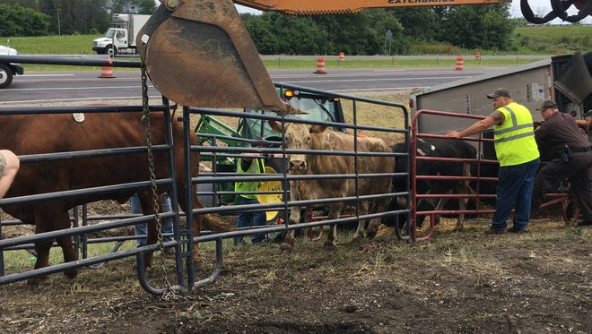 Cattle are contained in a makeshift corral along I-69 after they were rescued from a semi-tractor trailer that crashed Tuesday morning.