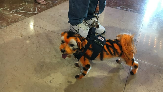 An Auburn fan painted his dog, Tiger Jake, to look like the Auburn mascot at SEC Media Days on Thursday in Hoover, Ala.