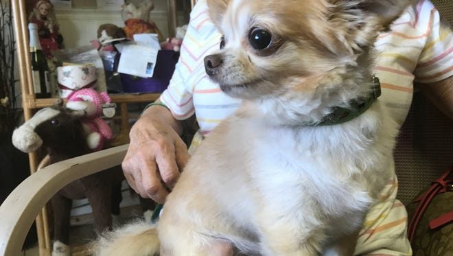 Jake, who was rescued from a puppy mill in Eden in 2016, sits on the lap of his owner Ida Kaleinicke.