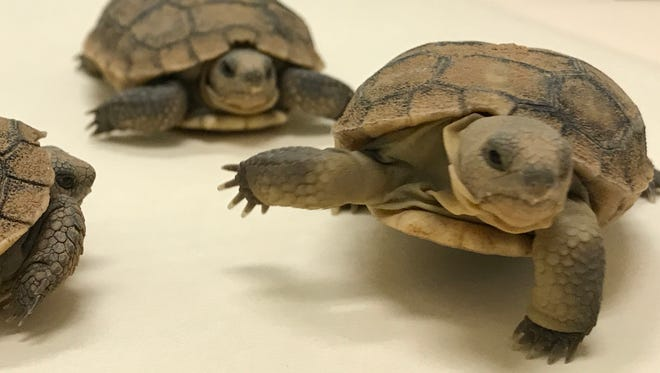 The Arizona Fish and Game Department has 75 desert tortoises that are in need of homes.