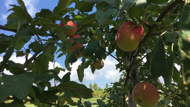 Silver Creek Orchard sells Zestar along with other varieties of apples.