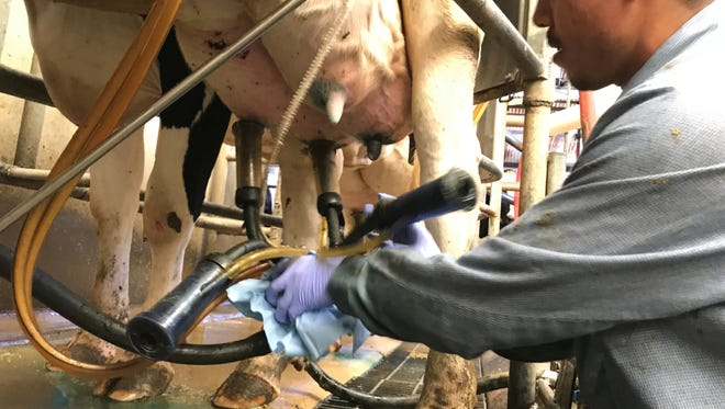Alejandro Moro milks a cow for Rosa Brothers, which has facilities in Hanford and Tulare.