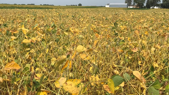As Midwestern farmers prepare to harvest this year's soybean crop, they are being met with a welcome surprise: rising prices.