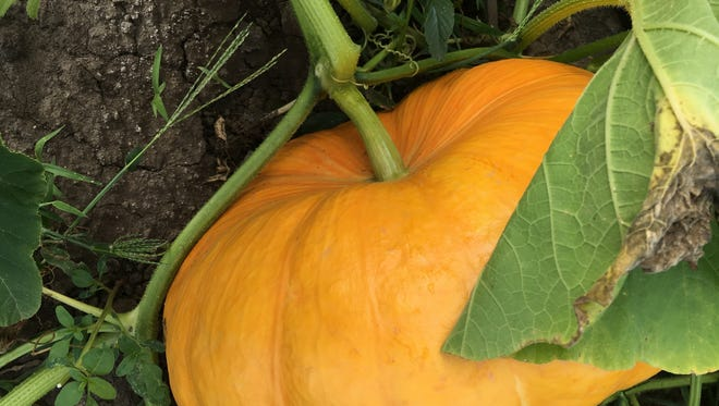 Judy Terry grew several large heirloom pumpkins. Called Rouge vif 'Etampes, or the Cinderella pumpkin, they have a sweet creamy flavor.