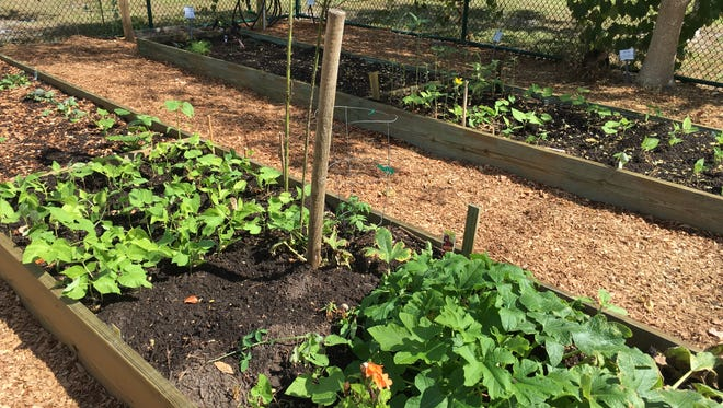 When families grow food for themselves, they contribute to our community's resilience and capacity for self-sufficient survival. Growing your own vegetables can also be a lot of fun because you can select from many interesting varieties that are not normally found in stores.