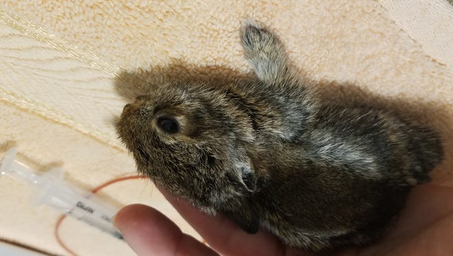A young Eastern cottontail rests after being fed. The rabbit lost part of its ear after being injured in a fire.