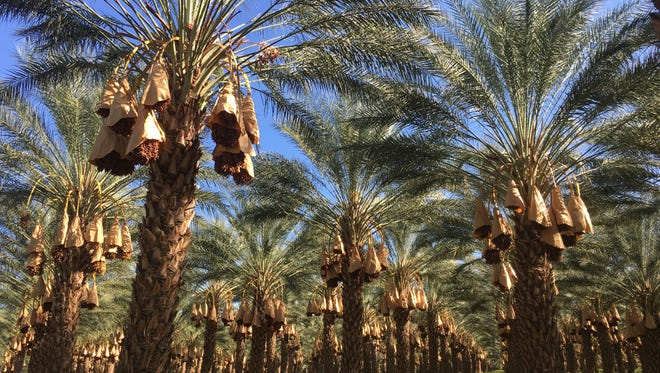 Growers and researchers are working to prevent a two-inch, invasive pest from boring into date palm trees.