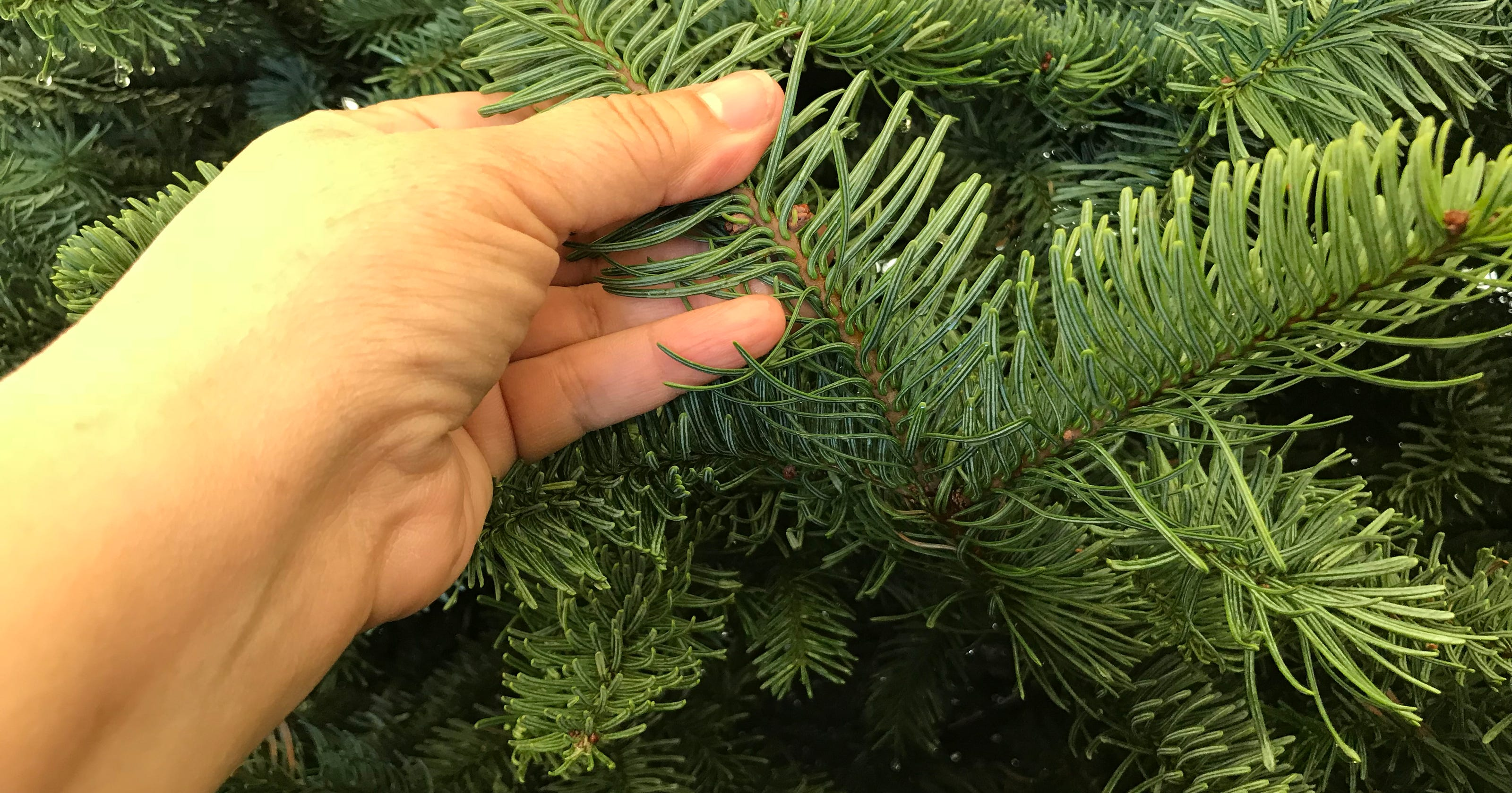 Christmas Tree Aphids.Christmas Tree Could Come With Bugs