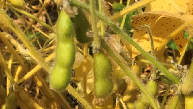 UW-Madison collaborative international research focuses on producing soybean germplasm that is highly resistant to white mold, a major disease in the upper Midwest.