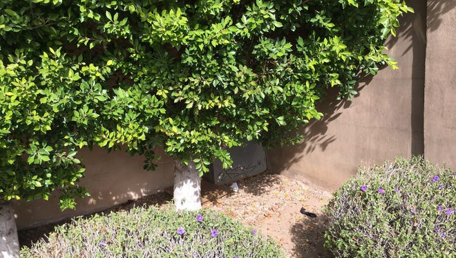 She slept on this patch of dirt, leaning against the wall of a gated community.