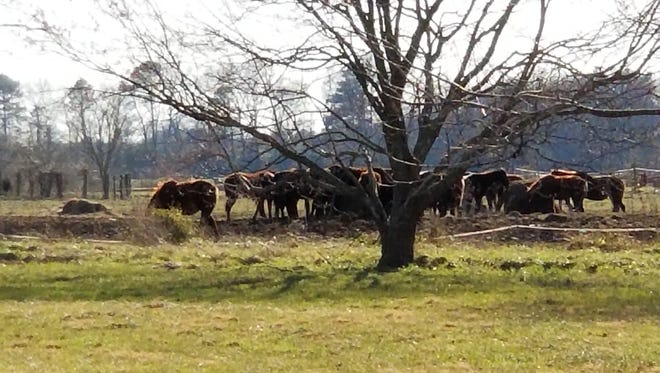 Horses graze at a home in Quantico on Friday after the Wicomico County Sheriff's Office announced at least 25 dead horses were found on this property on Cherrywalk Road in Quantico on March 16.
