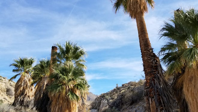 """In this photo provided by the Bureau of Land Management, a desert fan palm oasis stands in the Palm Canyon wash. Palm Canyon Creek has been designated by Congress as a """"wild and scenic"""" river."""