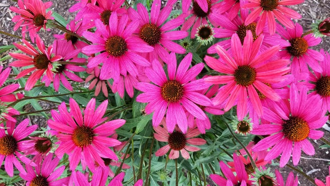 The PowWow(r) Wild Berry Coneflower was bred to provide an extended season of more vibrantly colored flowers, irresistible to butterflies and other pollinators.