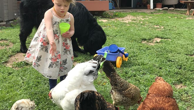 Three-year-old  Izabel Lydon feeds chickens in the backyard of her parents' Fort Collins home.