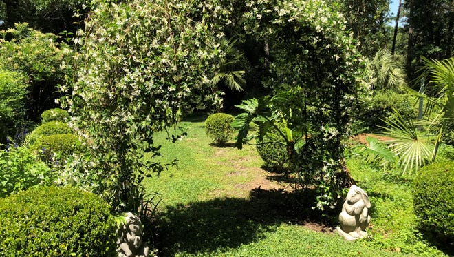 Confederate jasmine adds fragrance to the garden archway, just be sure to keep an eye on this ornamental vine, lest it grow out of control.