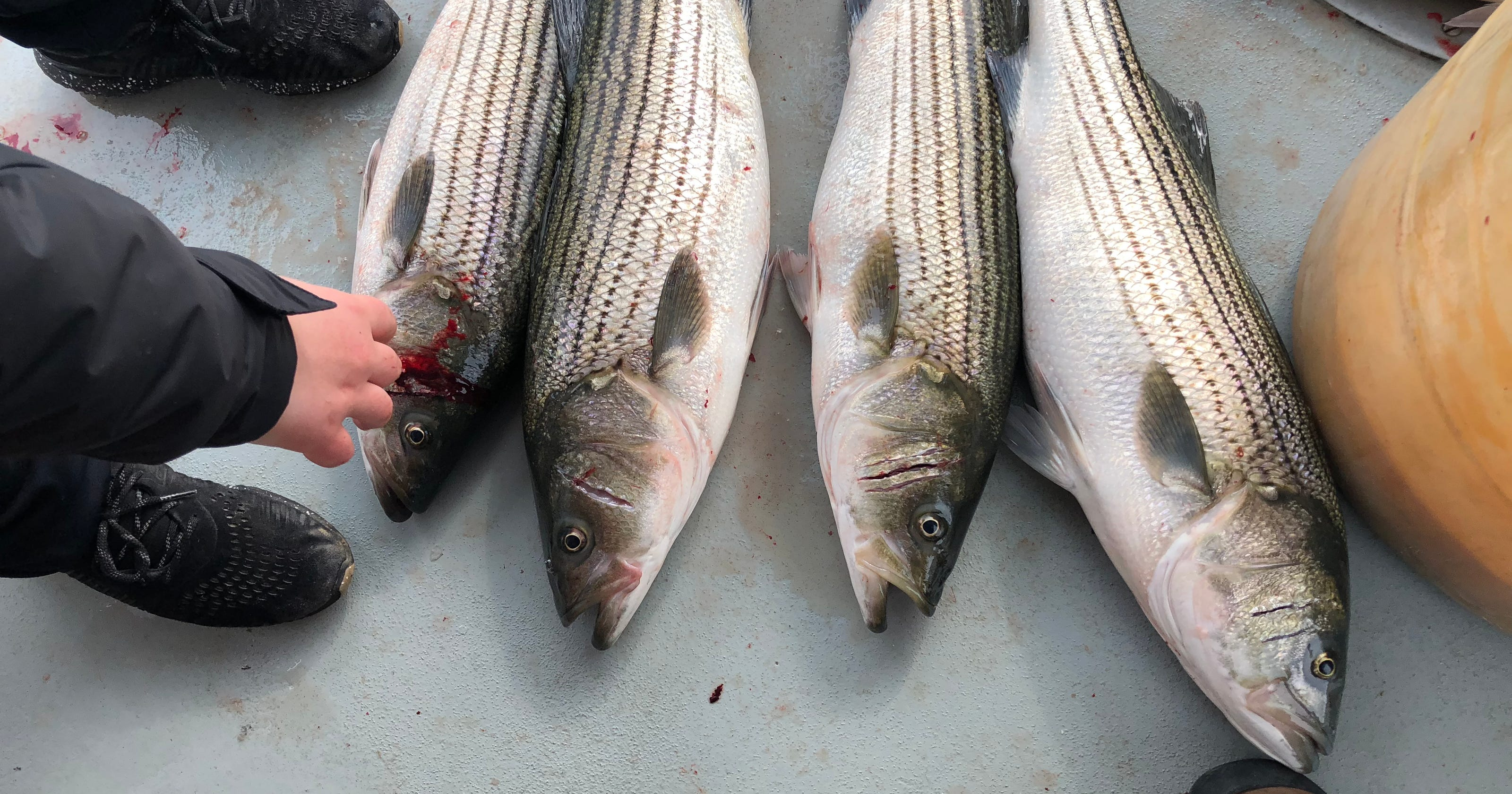 Striped bass are biting again, but New Jersey fishing trips
