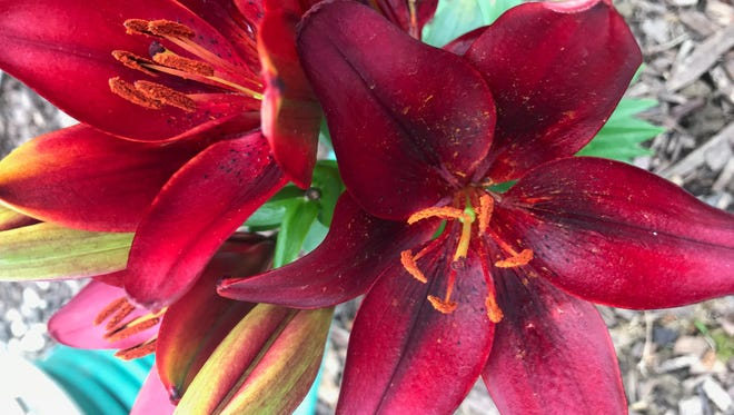 Lilies are safe for humans but can be deadly for cats, experts say.