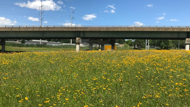 Black-eyed Susan blooming in the DelDOT meadow at the north end of the rest area on I95.
