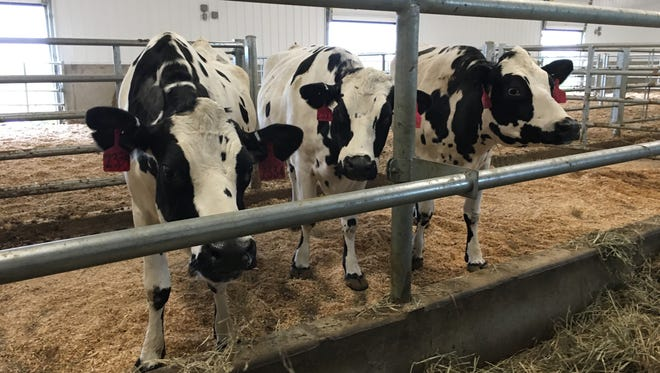 A trio of specially cloned cows at SAB Biotherapeutics' facility in Canton.