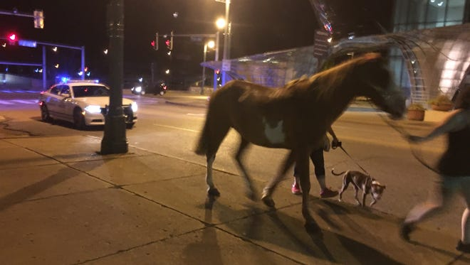 A horse that people on the scene described as the one that ran is led up Poplar Avenue near the Cannon Center on Friday, July 20, 2018 as a police officer waits in a car. People who appeared to be trainers said they were waiting for someone to bring a horse trailer.