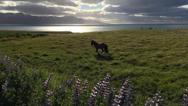 A horse roams near Husavik in northern Iceland.