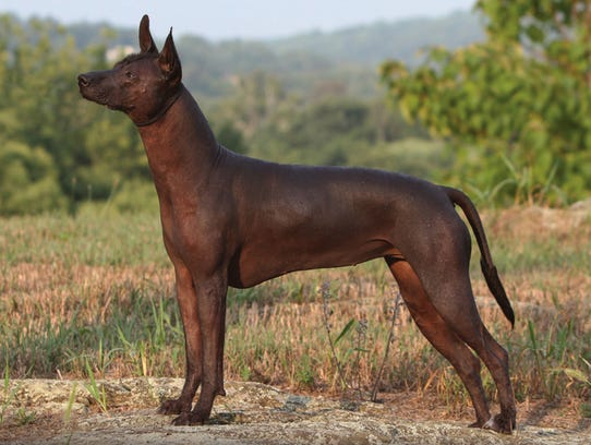The Mexican Hairless  were regarded by some cultures