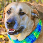 Ocho, a Lab mix, loves being with people.