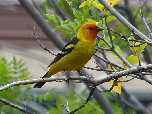 MAIN MAIN PIC-Western-Tanager-by-Jimmy-Zabriskie.JPG