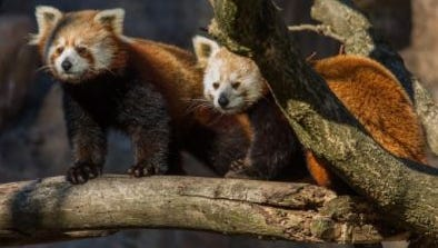 Red pandas will find a home at the WNC Nature Center in the fall.