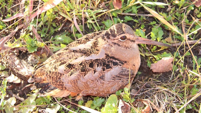 An American woodcock sits on the ground at the edge of a woodlot near Grand Rapids, Minn.