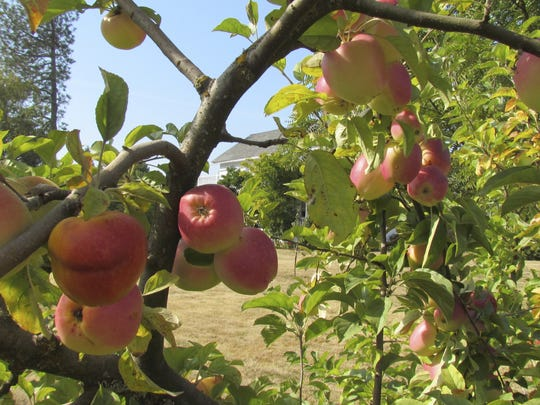 Fresh apple cider will be made on-site during the Apple Festival at the Historic Brunk House on Sept. 10.