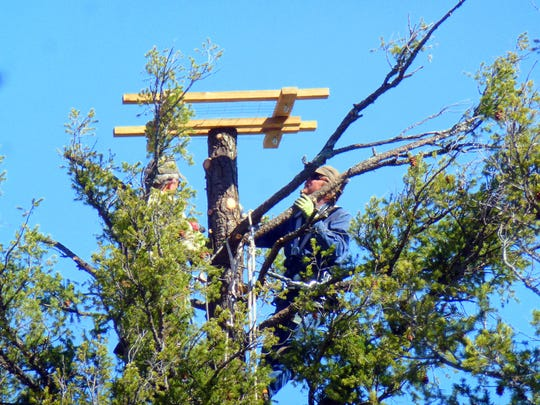 One of the two climbers works on the osprey platform structure at the top of the tree.