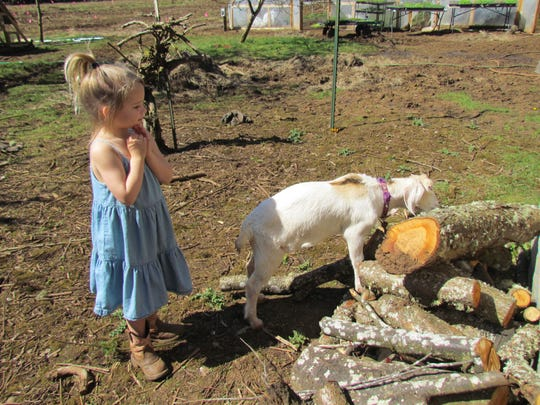 Butter, the house goat, loves to play with the children at  Bear Branch Farms in rural Stayton's Mt. Pleasant area.