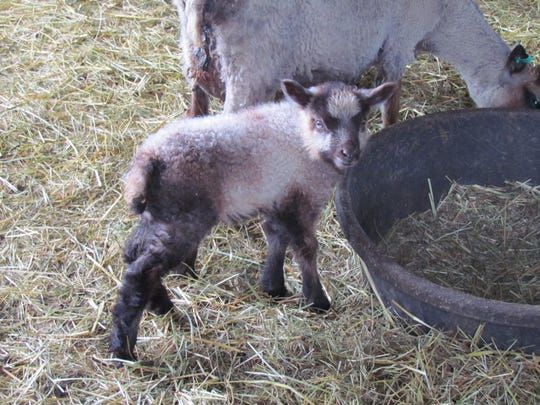 Preparing for the show: Meet the Lambies Day, the annual spring open house at Wolston Farm near Scio, will be held this year from 10 a.m. to 4 p.m. Saturday, April 9. This will be the 13th year of the event.