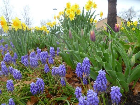 Grape-hyacinth-daffodils-and-Gavota-tulips-in-the-Four-Seasons-Garde....jpg