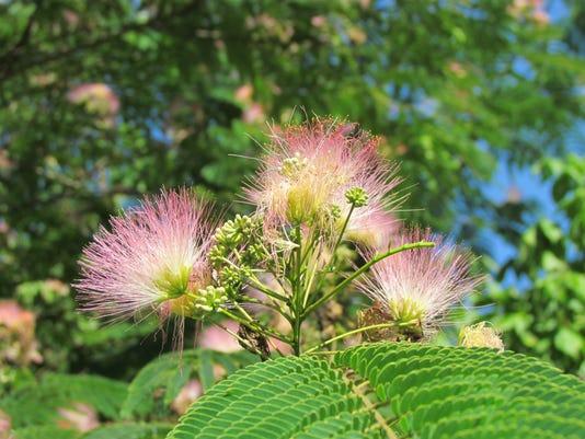 Mimosas11.jpg