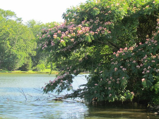 Mimosa trees are common all along the shores and banks