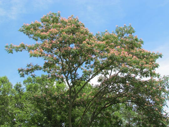 Mimosa trees are an invasive species that overtake