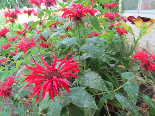 'Jacob Cline,' a tall red bee balm, has a bit of powdery mildew on its leaves and stems.
