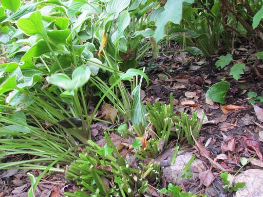 Hostas turn to mush when hit by a freeze, so cut them