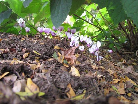 636450463382413666-cyclamen-hederifolium-IMG-7713-copy.JPG