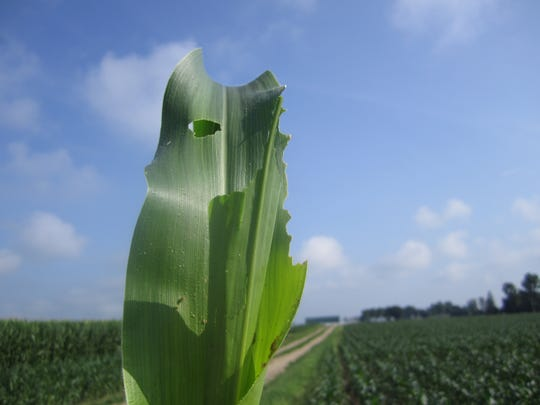 Armyworms are often go unnoticed in fields until injury