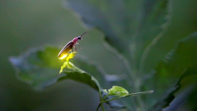 Individual firefly