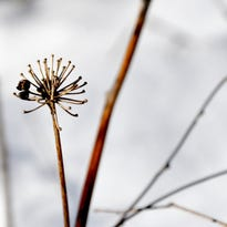 Bare umbels remain after the drupes disappear from wild sarsaparilla.