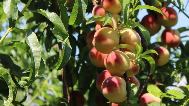 A healthy peach tree bears healthy fruit.