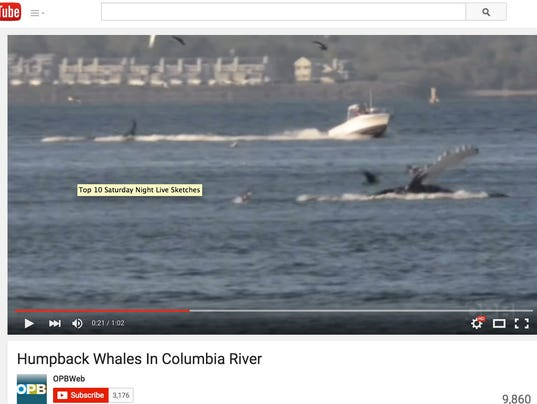 Whales In Columbia River
